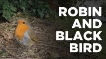 robin-blackbird-thumbnail