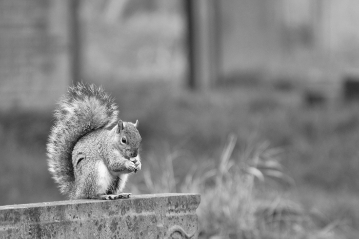Squirrel eating nut on grave