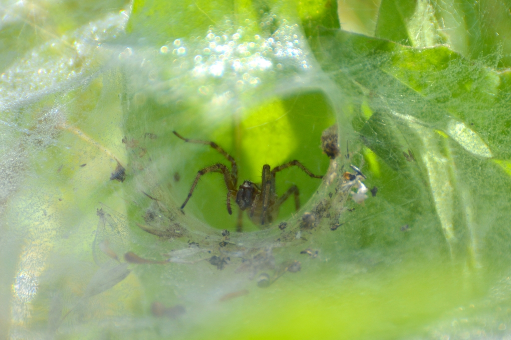 Labyrinth Spider in its funnel web