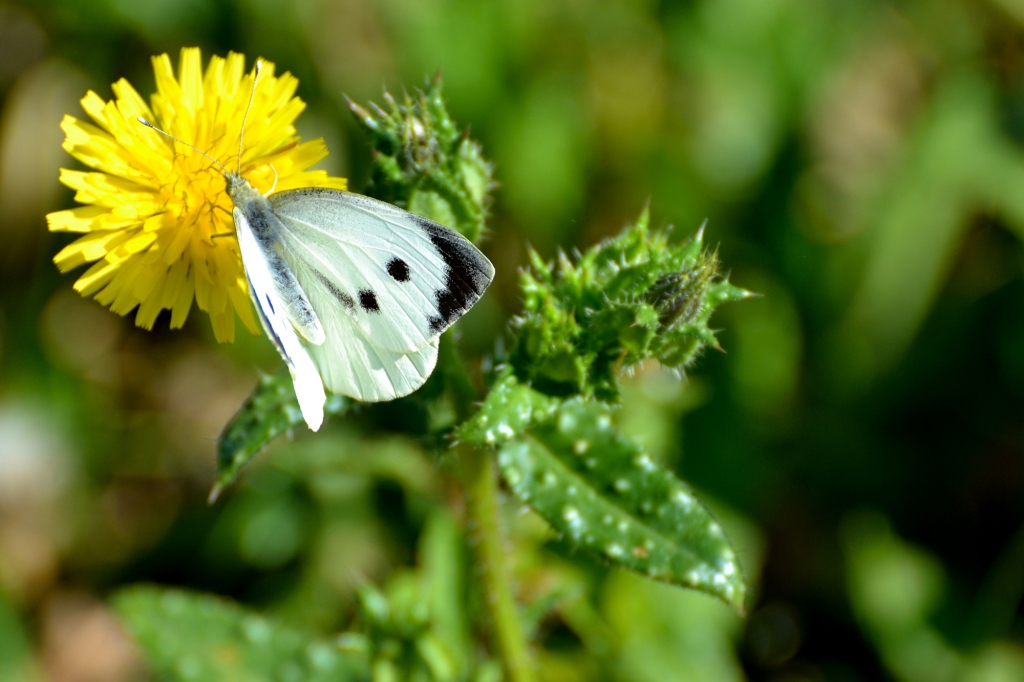 The Large White Butterfly
